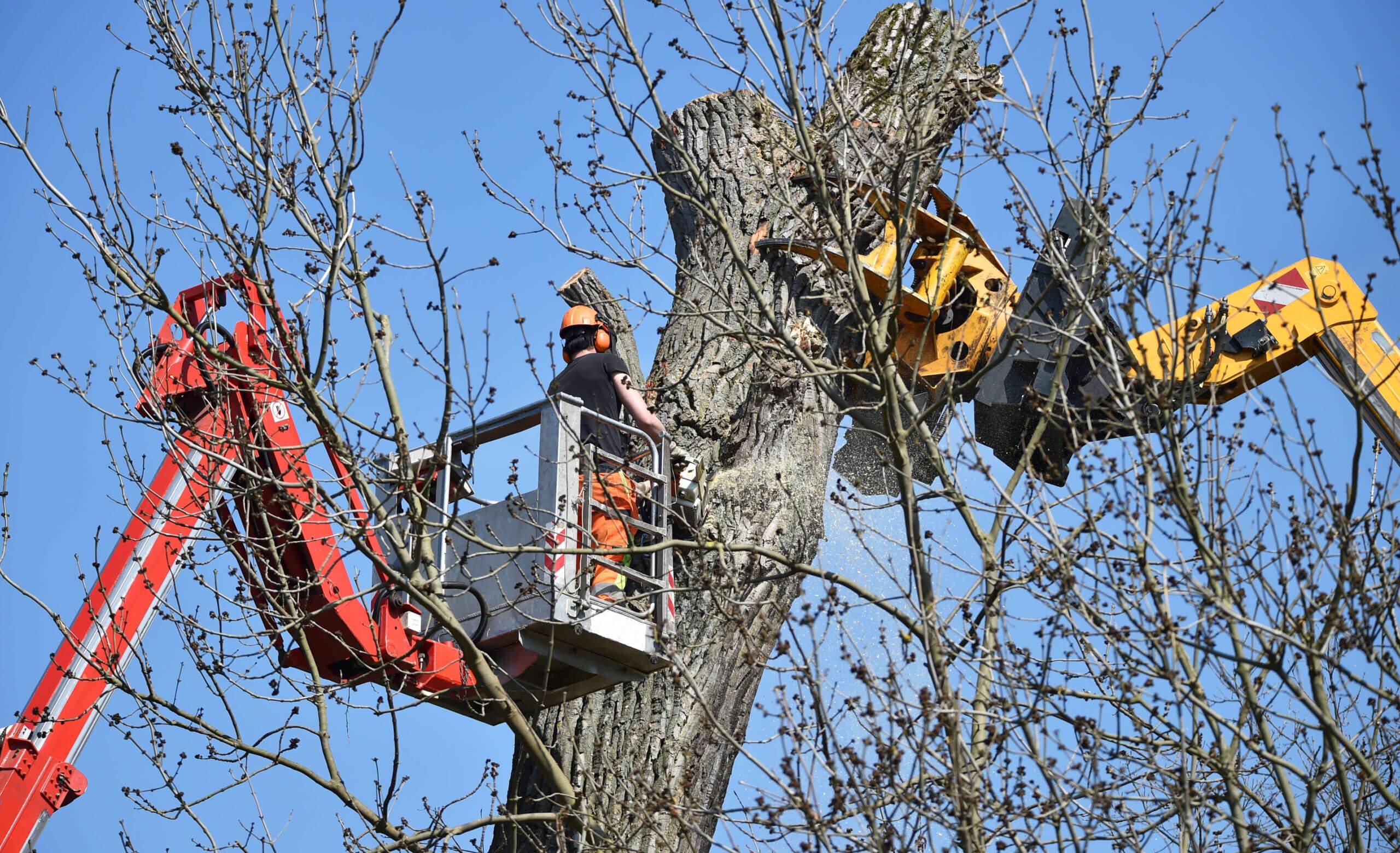 Baumfallungen Baumpflege gartengestaltung wien  scaled